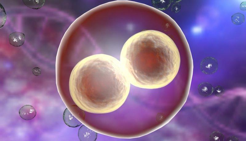 2 яйцеклетки