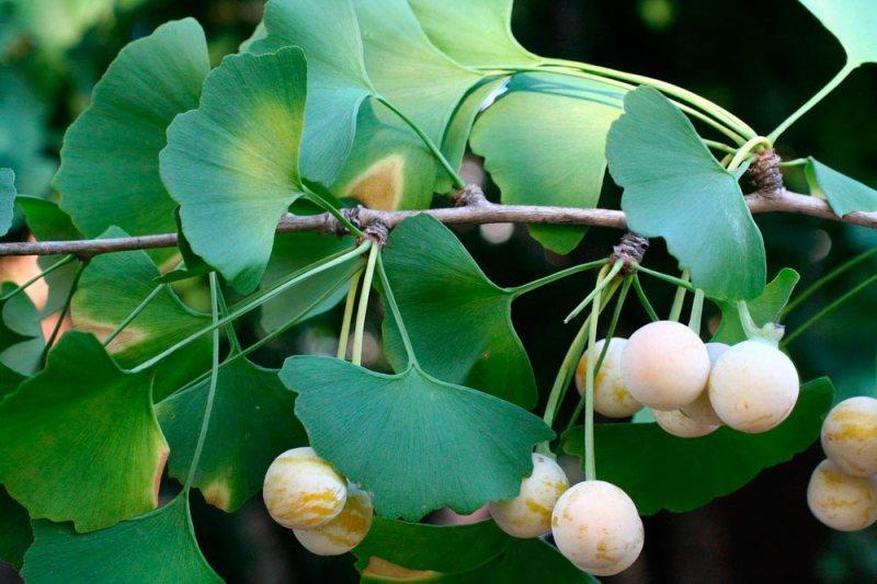 Растение гинкго билоба