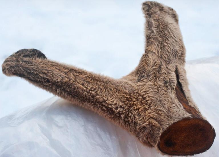 Неокрепшие рога оленя