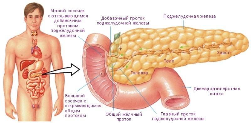 Поджелудочная железа человека