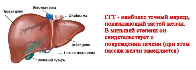 Показатель ГГТ в крови