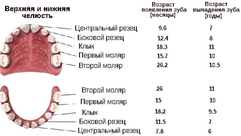 Порядок выпадения молочных зубов