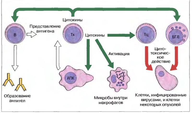 Роль лимфоцитов