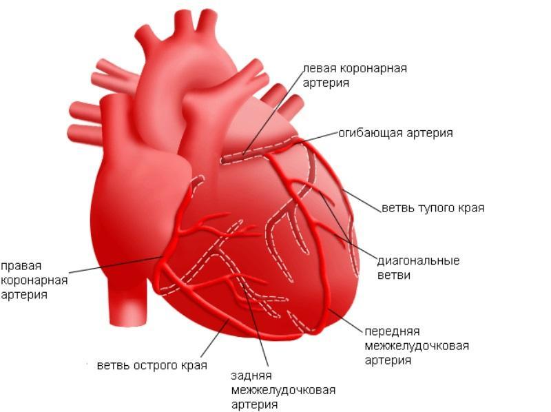 Сердечный круг кровообращения