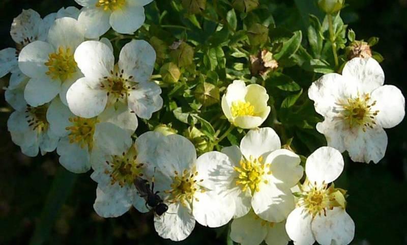 Цветки белой лапчатки