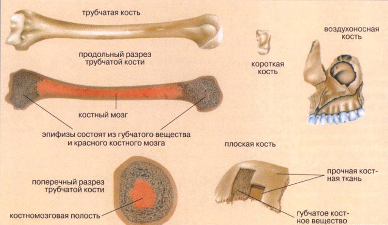 Части костного мозга