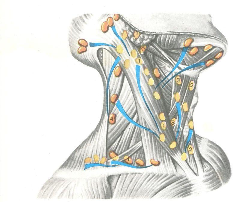 Лимфоузлы на шее