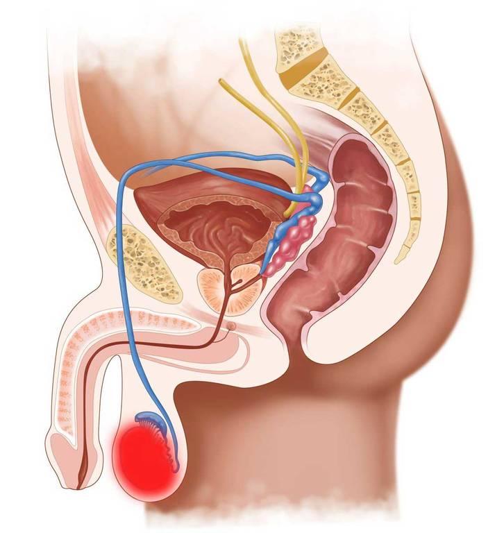 органы мочеполовой системы мужчин