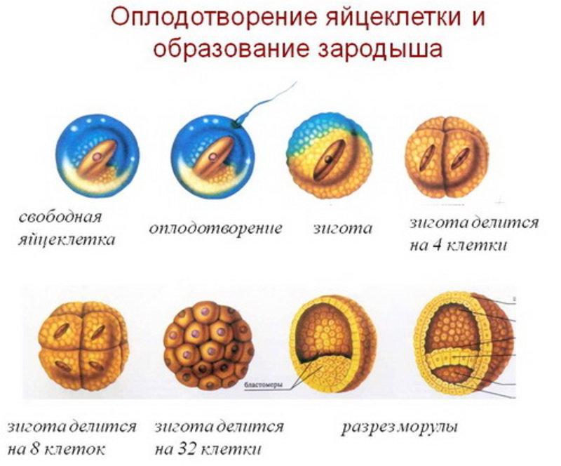 оплодотворения яйцеклетки и образование зародыша