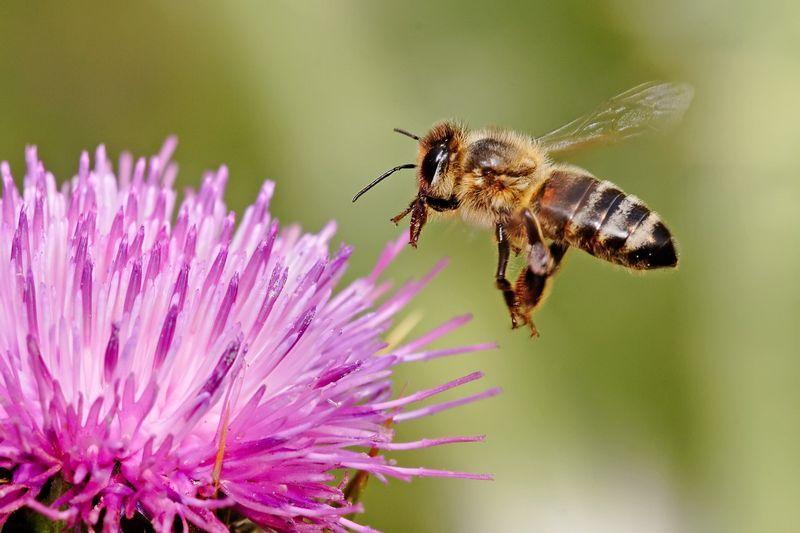 Расторопша с мёдом