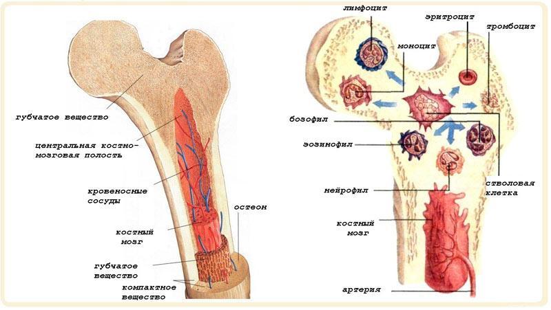 Строение костного мозга