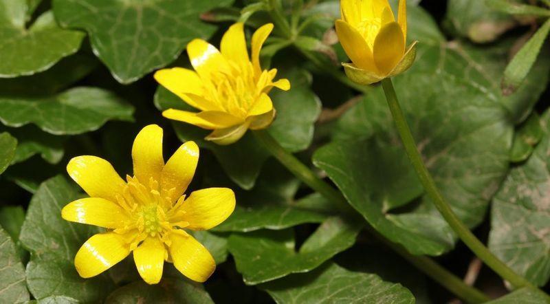 Жёлтый цветок чистотела